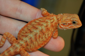 Slap Your Grandma!!! HypoTrans Red/Orange Italian Leatherback female