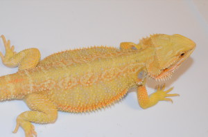 "There are some dragons you just don't want to sell and this is one of them. Beautiful hypo citrus 16"" female with an awesome disposition. This is the build and conformation that I look for in a dragon. Complete package here! $400 plus shipping"