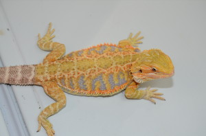 "Picture says it all!  Outstanding 13"" female rainbow tiger. $500 plus shipping."