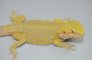 "This is a gorgeous, bright yellow hypo citrus female. Around 15"". $450 plus shipping."
