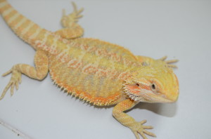 "Nice hypo citrus/orange male around 13"". This guy has a great personality. Great size too if you are looking for a healthy pet dragon for a child's pet. $250 plus shipping."