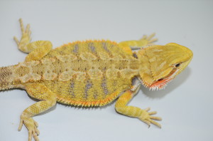 Wow!  This is one gorgeous citrus tiger that is developing jaw dropping color early on in her development.  This collector quality dragon will blow you a way in a year.  She is only 3 months old!  $450 plus shipping
