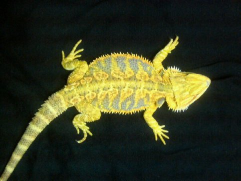 Bearded Dragon Cage Clifieds Across The Usa Page 7 Americaned