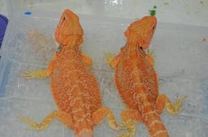 Hypo Orange females