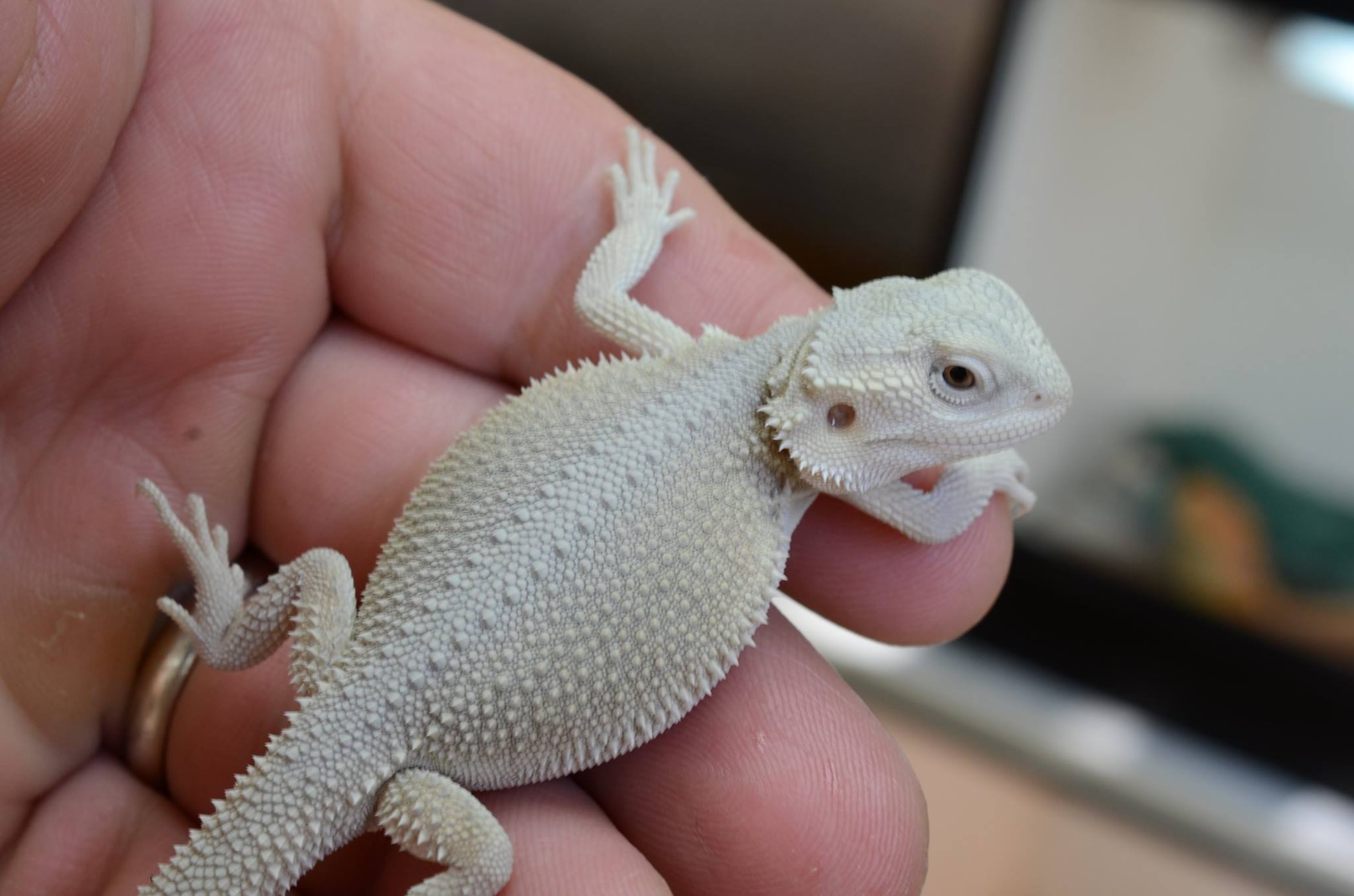 Bearded Dragon Photos | Bearded dragons for sale