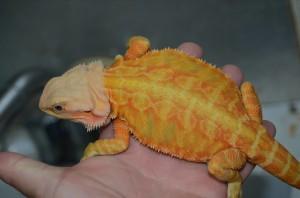 Orange Hypo Leatherback