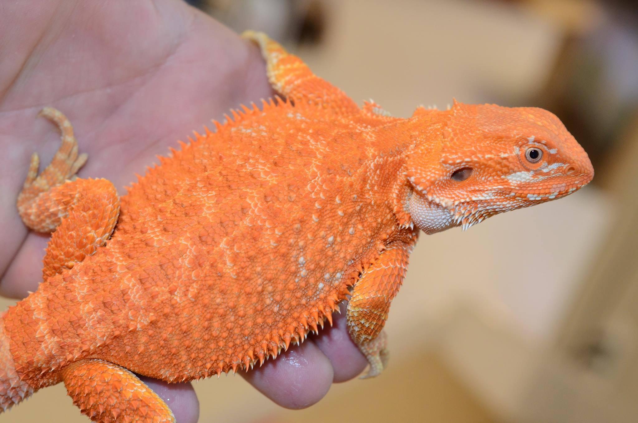 Azula - Hypo Orange Red Bearded Dragon - Female