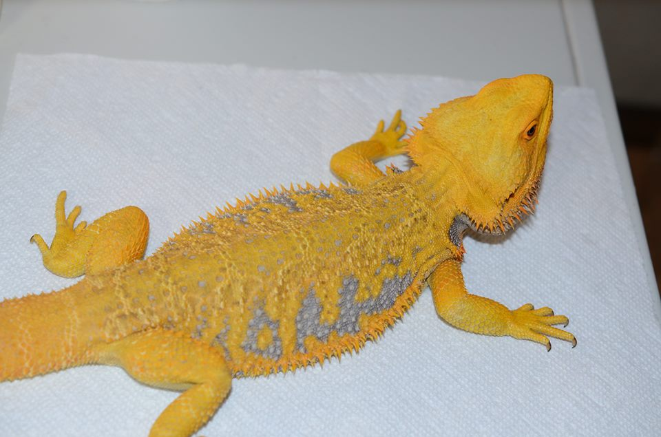 Calypso - Citrus Bearded Dragon
