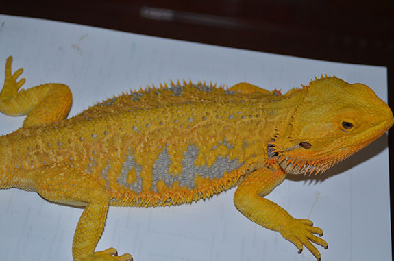 Citrus tiger bearded dragon - photo#18