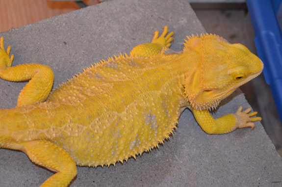 Goldenboy - Male Hypo Super Citrus