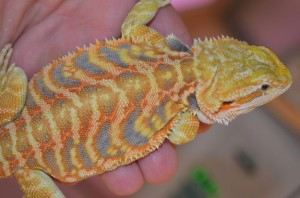 Stripes - Male Citrus/Tangerine Tiger Leatherback