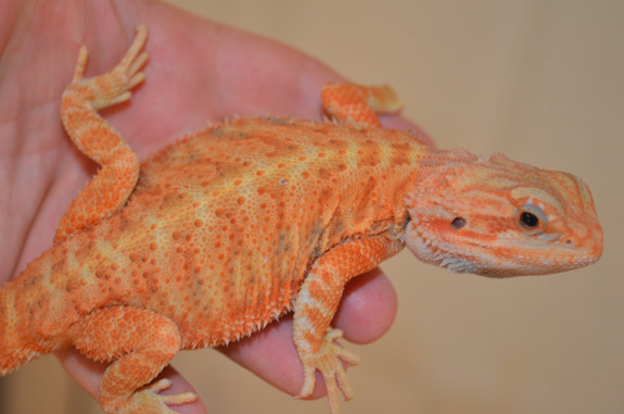 JuJu - Male Orange HypoTrans bred by Brenda Gore