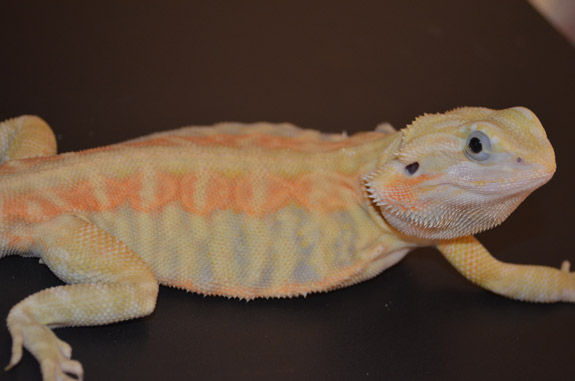 Skelebaby - Male Italian Co-Dom, American recessive leather (Microscale) Citrus Hypotrans bred by Phantom Dragons