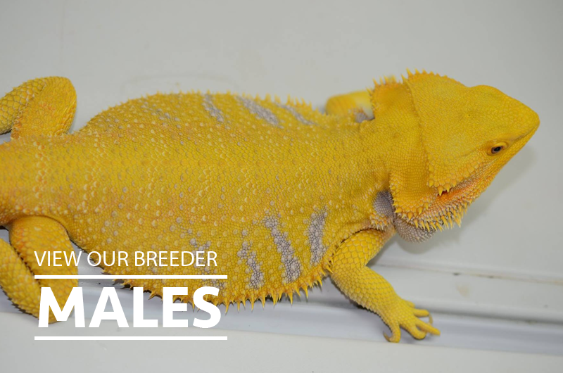 Bearded Dragon Breeders Males