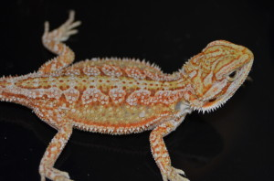 Bearded dragon breeders for color lovers