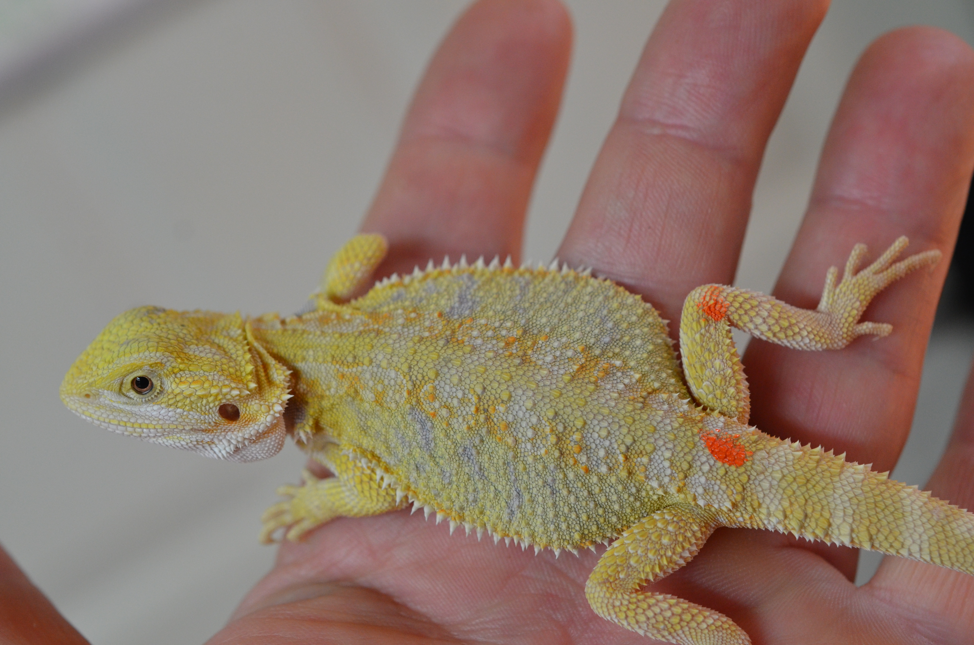 Bearded Dragons for Sale | Carolina Classic Dragons